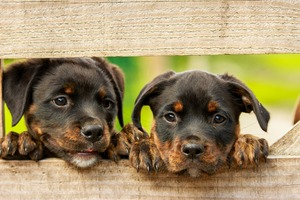 Two rottweiler puppys behind a wooden fence