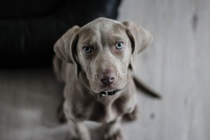 A Weimaraner looking up at the camera