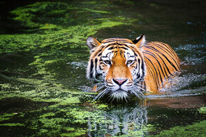 Tiger swimming in swamp