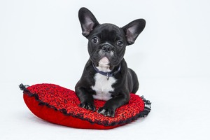 A cute French Bulldog puppy is sitting on his pillow
