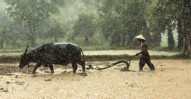 A buffalo farmer is plowing a wet field