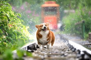 A Pembrok Welsh Corgi is running on the railroad tracks while it is raining